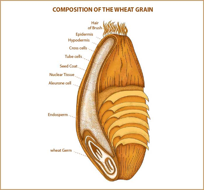 Whole wheat atta,Maida distributors in Kerala